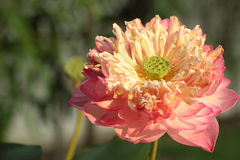 Lotus bloom flower Royalty Free Stock Photo