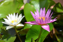 Lotus bloom  flower in water / A lotus bloom / Blossom /a lotus leaf/water lilly / Royalty Free Stock Photography