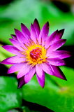 Lotus  Purple Royalty Free Stock Photography