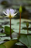 Lotus bloom in the pond Royalty Free Stock Images