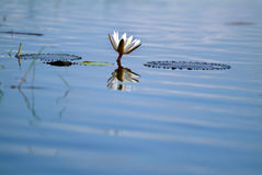 Lotus bloom in the pond. Lotus bloom  pond Natural water Religion Royalty Free Stock Photo