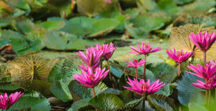 Lotus bloom in the pond. Royalty Free Stock Photo