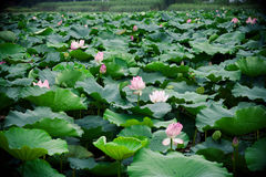 Lotus bloom in summer Royalty Free Stock Photography