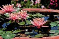 Lotus bloom on a sunny summer day stock photos