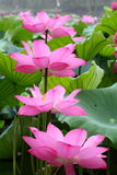 Lotus blooming Royalty Free Stock Image