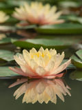 Lotus blooming. With reflection on water Stock Photography