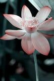 Lotus blooming stock image