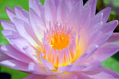 Lotus blooming flower  zen water lilly Royalty Free Stock Image