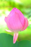Lotus blooming flower  zen water lilly Stock Images