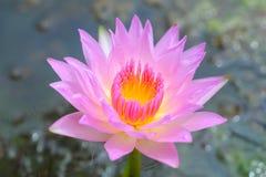 Lotus blooming flower  zen water lilly Royalty Free Stock Photos