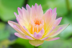 Lotus blooming flower  zen water lilly Stock Photos