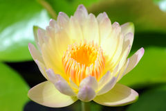 Lotus blooming flower  zen water lilly Royalty Free Stock Photos