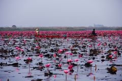 Lotus blooming lake Royalty Free Stock Images