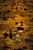 Lotus blooming lake. In the morning . Royalty Free Stock Photo