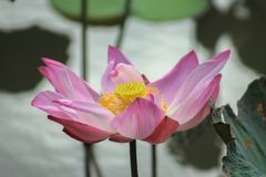 Lotus blooming. Pink lotus blooming in the pond Royalty Free Stock Images