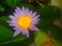 Lotus is blooming stock image
