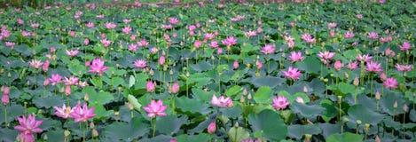 Lotus blooming season on the field Stock Photos