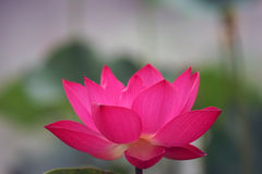Lotus. Is blooming at this time of the year Stock Photos