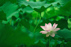 Lotus bloomming at green leaves background Royalty Free Stock Photos