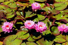 Lotus Blooms Stockbild