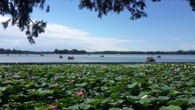 Lotus Blooms en el palacio de verano en Pekín, China imágenes de archivo libres de regalías