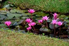 Lotus blooms Stock Photo