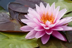 Lotus blossom Royalty Free Stock Image