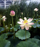 Lotus blossom Royalty Free Stock Images