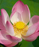 Lotus Blossom. A lotus in full bloom amongst a patch of lilly pads royalty free stock photography