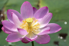 Lotus in blossom Stock Photo