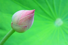 Lotus blossom Royalty Free Stock Photo