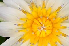 Lotus blossom. Closeup of a lotus flower blossom Royalty Free Stock Photos