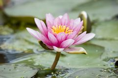 The Lotus Blossom. Pink lotus blossom surrounded by lilly pads in a pond Stock Photo