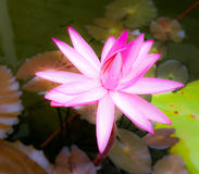 Lotus blossom. Beautiful pink lotus blossom Royalty Free Stock Photography