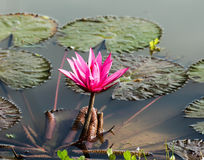 Lotus blossom. Beautiful lotus blossom in the pond Stock Images