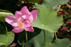 Lotus Blossom in Beihai Park, Beijing. Nelumbo nucifera (sacred lotus) is native to Asia Stock Images