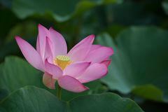 Lotus blossom in green field Royalty Free Stock Photography