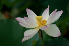 Lotus blossom in green field Royalty Free Stock Images