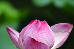 Lotus blossom. Details of a lotus blossom with blurry background Stock Photo