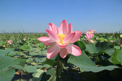 Lotus blossom Royalty Free Stock Photography
