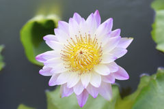 Lotus blossom Royalty Free Stock Photography