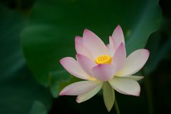 Lotus blossom in green field Royalty Free Stock Photo