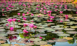 Lotus blossom. Many lotus flowers spread over the swamp Stock Image