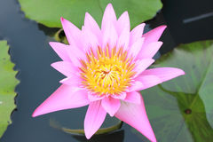 Lotus blossom meaning. An ornamental aquatic plant with large round floating leaves in the pond royalty free stock photo