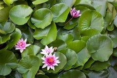 Lotus Blossom, Nelumbo Imagens de Stock