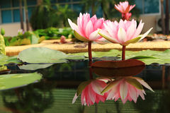Lotus. Blossom pink lotus in the pond Stock Images
