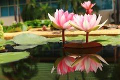 Lotus Stock Images