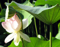 Lotus blossom, pink water lily with lotus leaf on pond Royalty Free Stock Images