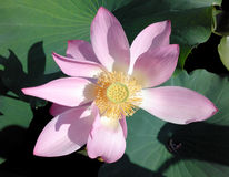 Lotus blossom, pink water lily with lotus leaf on pond Stock Image