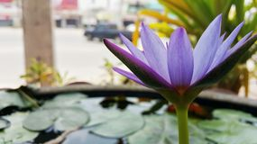 Lotus. Blossom in  the pond Royalty Free Stock Image